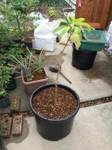 マンゴー植え付け