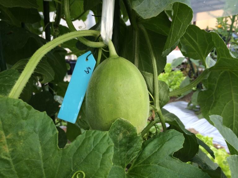「家庭菜園」メロン栽培2015年6月